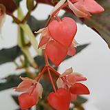 목베고니아18센치분)|Begonia