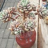 원종페러독스묵은둥이(대품)자연군생|Pachyveria cv. Paradoxa