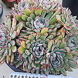 여제자연대품|Echeveria pulidonis