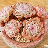 묵은목대 화이트턱시판|Echeveria tuxpan