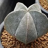 온주카/온즈카-300 (실생,W:6.0cm) Astrophytum myriostigma cv. ONZUKA