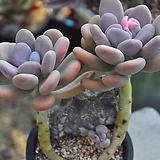 아메치스넘목대(W162)|Graptopetalum amethystinum