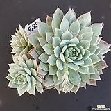 티피1205-689|Echeveria Tippy