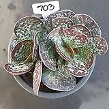 환엽어소금1205-703|Adromischus maculatus