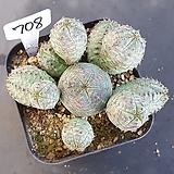 오베사1205-708|Euphorbia obesa (Baseball Plant)
