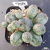 오베사1205-709|Euphorbia obesa (Baseball Plant)