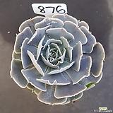 핑크프릴1205-876|Echeveria shaviana