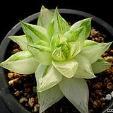 경화금 12-163|Haworthia cymbiformis f. variegata