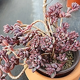퍼플드림|Graptoveria cv Purple Dream