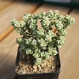 희성금 1205-06 Crassula Rupestris variegata