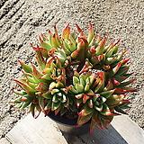 긴잎적성 (특대품)(목질)(자연군생) 0304 1130|Echeveria agavoides Akaihosi