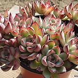황홀한연꽃 (중품)(왕목질)(자연군생) 2947 1130|Echeveria pulidonis