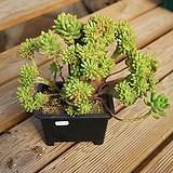 묵은아이 팔천대철화 1205-59 Sedum corynephyllum
