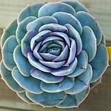 블루서프라이즈609 Echeveria Blue Surprise
