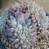 오렌지먼로철화1205|Echeveria Monroe(Orange)