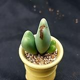 축전(분채배송)|conophytum bilobum