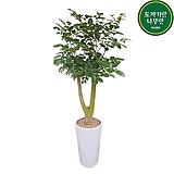 해피트리 행복나무 개원축하화분 배달|happy tree