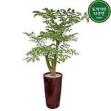 해피트리 행복나무 관엽식물 거실화분 입주|happy tree