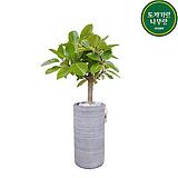 뱅갈고무나무 집들이화분 카페화분 개업오픈축하|Ficus elastica