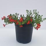 [단품할인]빨강초연초(중품)-꽃대 많고 풍성한 아이~ 