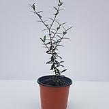 [특가할인]올리브나무(소품) 