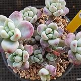 핑크 라울한몸|Sedum Clavatum