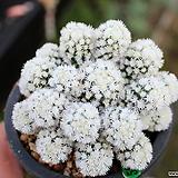 눈꽃 선인장 Mammillaria gracilis cv.