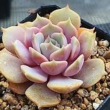 핑크플로이드 3|Echeveria minima hyb Roid