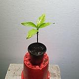 노니나무 약초나무 소품 외목대 20~50CM 59|