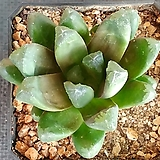 만상 Haworthia maughanii