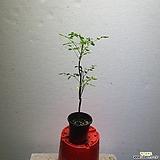 모링가 나무 약초 소품 초특가 25~50cm 59