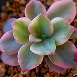 핑크하린금6115|