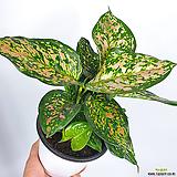 엔젤사파이어 아글레오네마 공기정화식물|