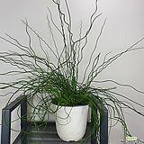 준쿠스 스프링골풀 공기정화식물 수경재배|