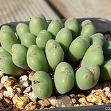 미니 차우바니에|Conophytum Chowbanier