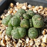위트버젠스 19두군생|Conophytum Wittebergense
