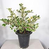 스윗하트고무나무 고무나무 사진상품밝송 공기정화식물|Ficus elastica