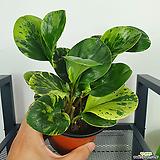 골드페페 무늬페페 페페 페페로미아 공기정화식물|