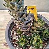 하월시아 자취(紫翠)1508 자주빛자 푸를취