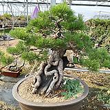해송-수작바위를 품은소나무|