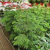 아로카리아 아레우카리아  사이즈100~120cm|