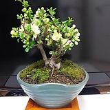 백장수매5번-년중꽃개화-장수와부귀의상징-동일품배송