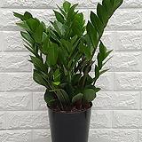♥금전수(돈나무) 실내공기정화식물♥