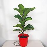 떡갈고무나무 외목대 떡갈 고무나무 사진상품발송 공기정화식물|Ficus elastica