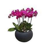 호접란 고급폴리화분 대품 병원식물 인테리어화분 서양란 난배달|