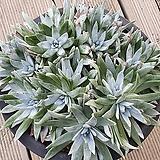 화리노사대품군생15두|Dudleya farinosa Bluff Lettuce