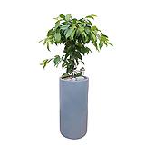 킹벤자민 나무 (시멘트원통형완성롱분) 대품 개업축하화분 사무실화분 배달|