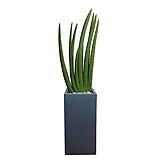스투키 (시멘트사각완성분) 대품 거실화분 개업축하식물 관엽|Sansevieria Stuckyi