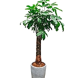 파키라 삼식이 (도자기완성분) 특대 전시회식물 인테리어식물 축하식물|