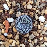 conophytum obcordellum (옵코델룸)